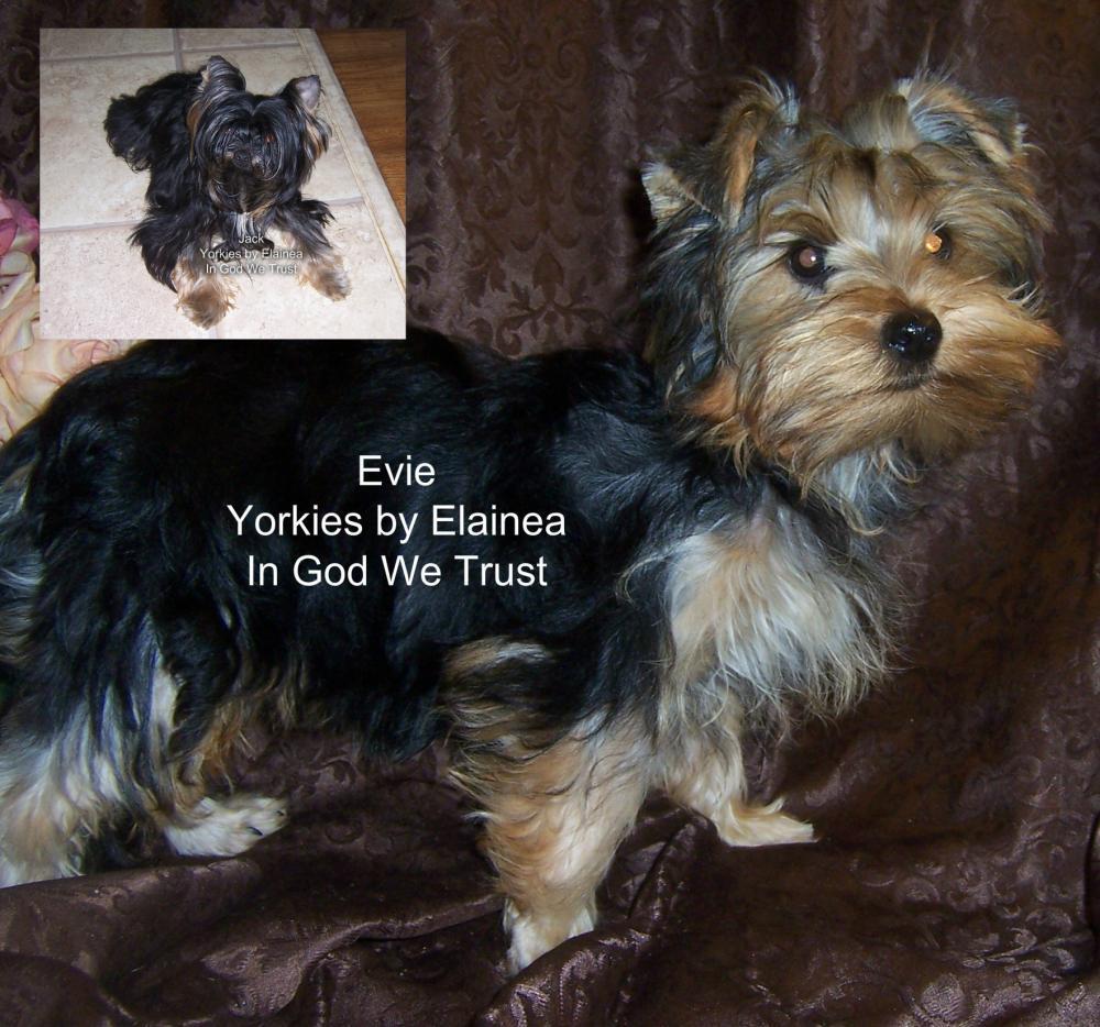 Yorkies For Sale Yorkies By Elainea